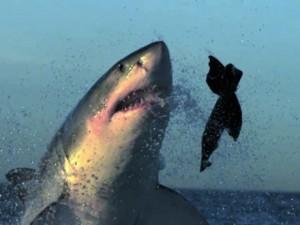Mavi suların uçan köpekbalıkları