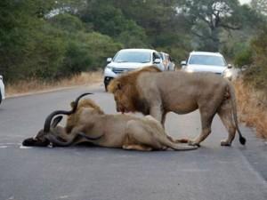Aslanlar trafikte kudu parçaladı