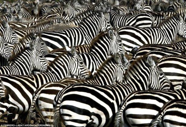 Hayvanların büyük göçlerinden muhteşem kareler 8