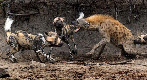 Hayvanlar dünyasından vahşi kareler! 106