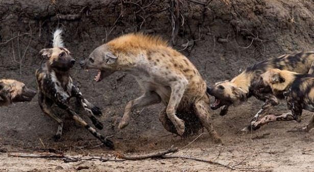 Hayvanlar dünyasından vahşi kareler! 112