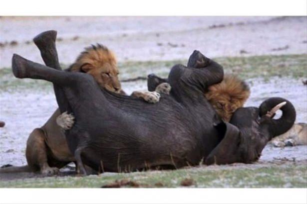 Hayvanlar dünyasından vahşi kareler! 83