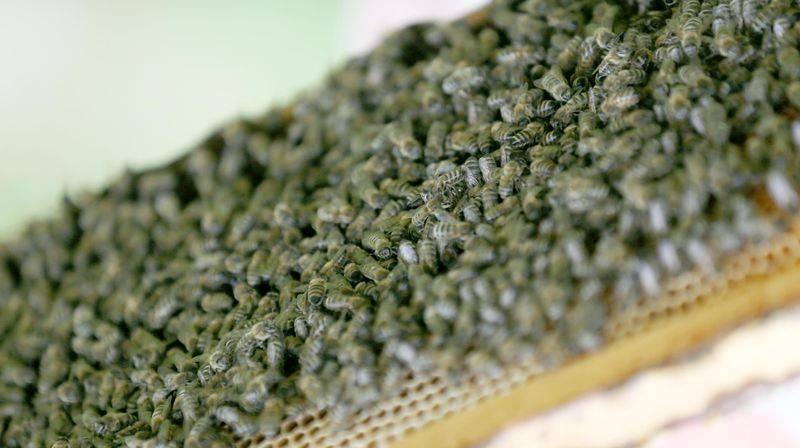 'Sokmayan arı'ya yoğun talep 8