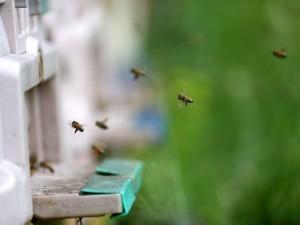 'Sokmayan arı'ya yoğun talep
