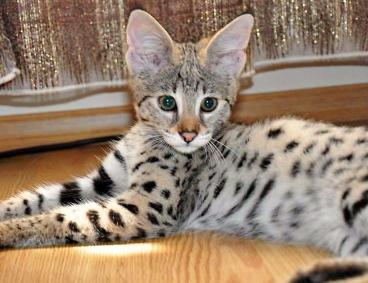 Bu kedi tam 22 bin dolar! 13