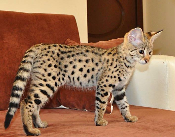 Bu kedi tam 22 bin dolar! 14