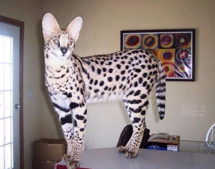 Bu kedi tam 22 bin dolar! 15