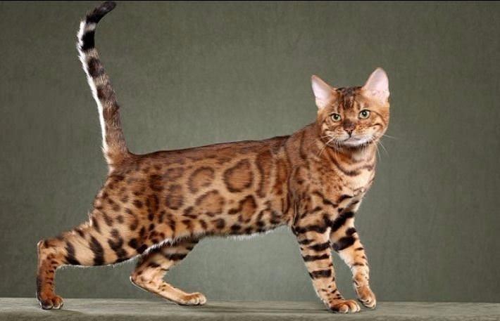 Bu kedi tam 22 bin dolar! 34