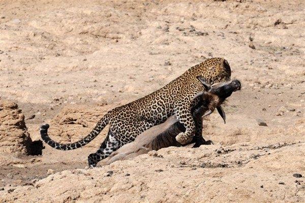 Leoparın inanılmaz av taktiği 10