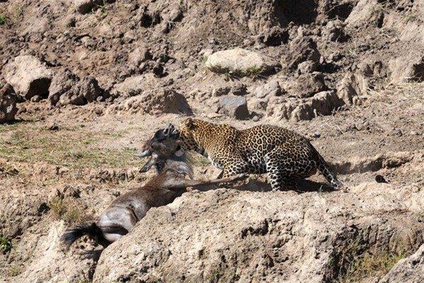 Leoparın inanılmaz av taktiği 11