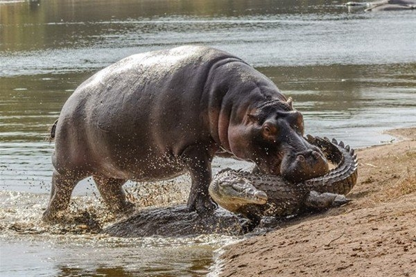 Leoparın inanılmaz av taktiği 16