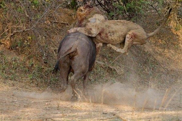 Leoparın inanılmaz av taktiği 19