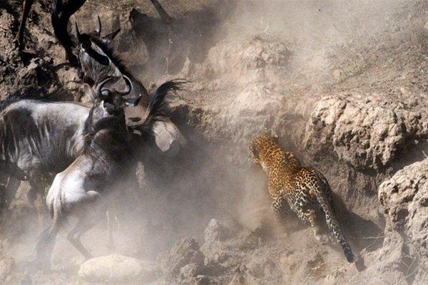 Leoparın inanılmaz av taktiği 2