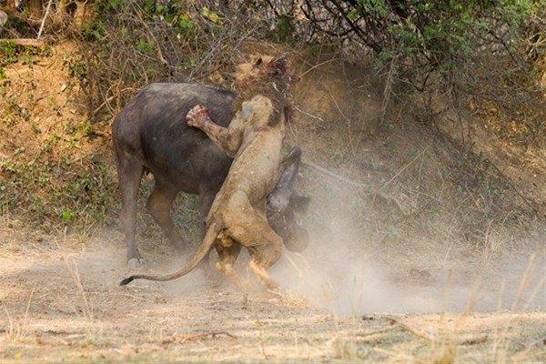 Leoparın inanılmaz av taktiği 21