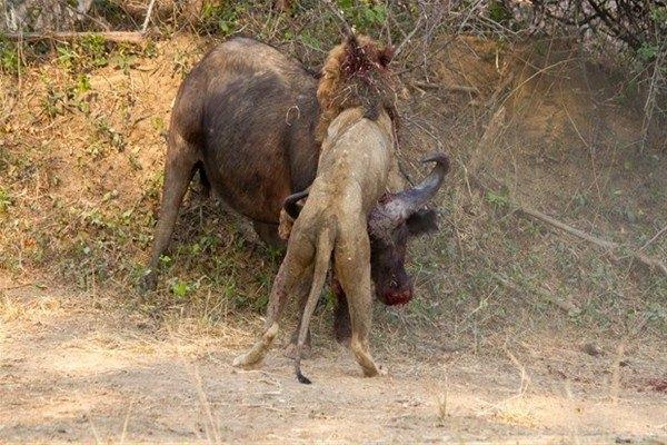 Leoparın inanılmaz av taktiği 22