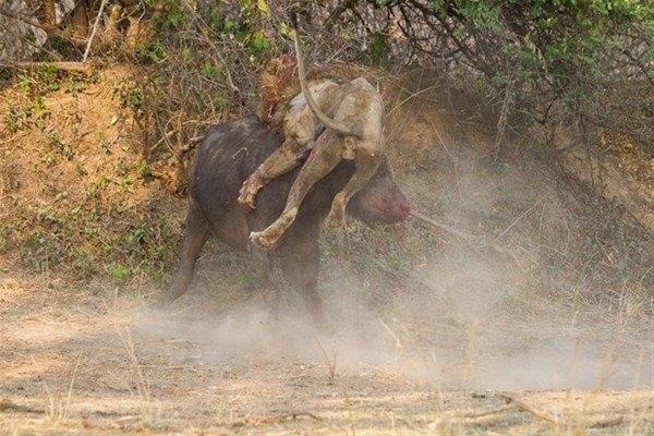 Leoparın inanılmaz av taktiği 23