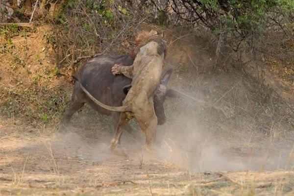 Leoparın inanılmaz av taktiği 24