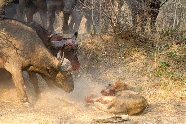 Leoparın inanılmaz av taktiği 26