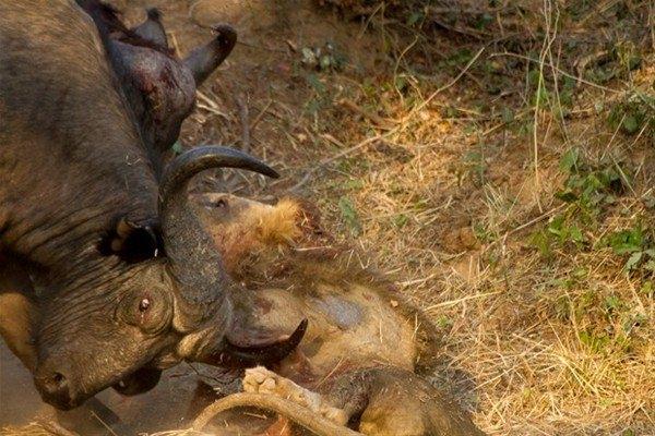 Leoparın inanılmaz av taktiği 27