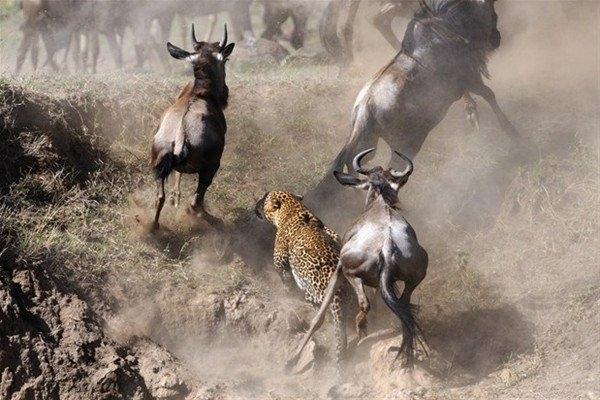 Leoparın inanılmaz av taktiği 3