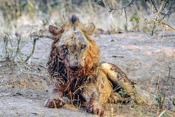 Leoparın inanılmaz av taktiği 32