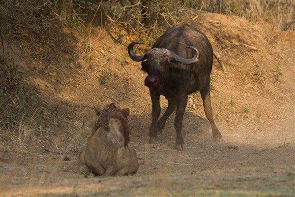 Leoparın inanılmaz av taktiği 34