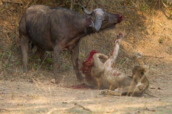 Leoparın inanılmaz av taktiği 35