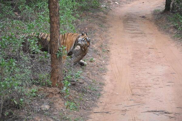 Leoparın inanılmaz av taktiği 39