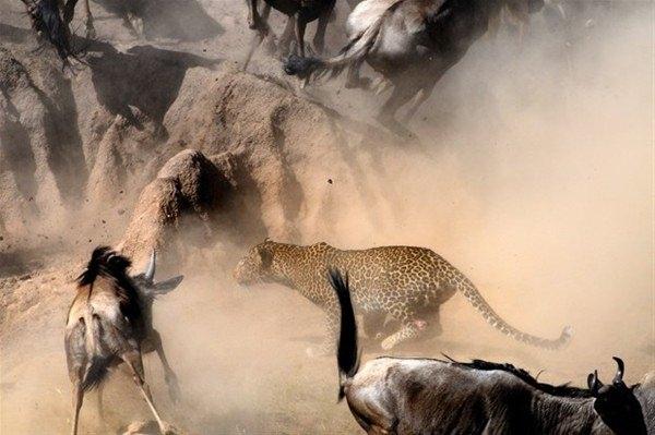 Leoparın inanılmaz av taktiği 4