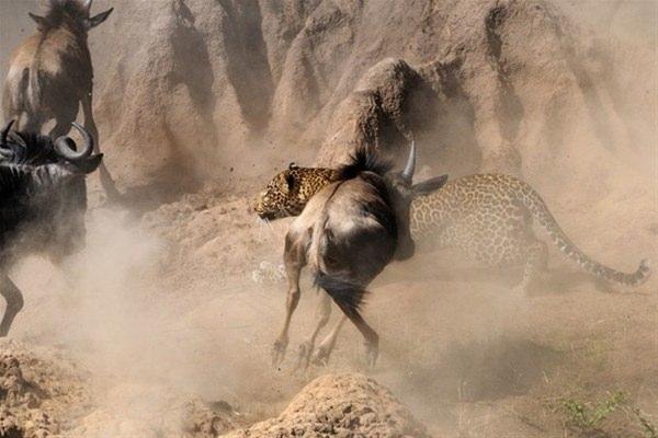 Leoparın inanılmaz av taktiği 5