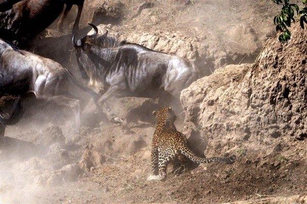 Leoparın inanılmaz av taktiği 6