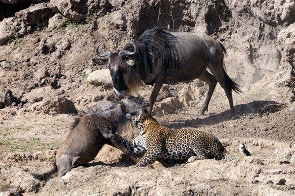 Leoparın inanılmaz av taktiği 8