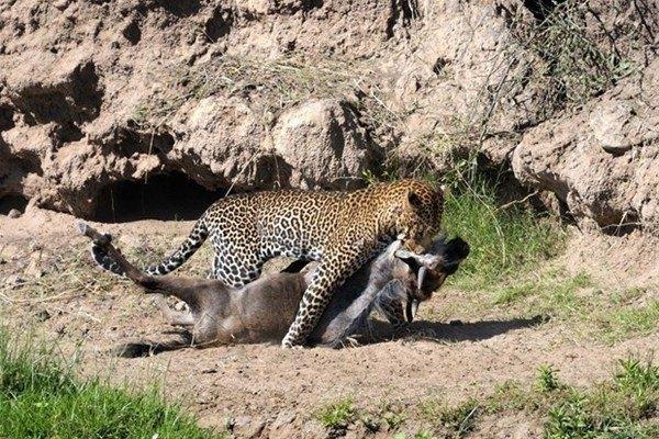 Leoparın inanılmaz av taktiği 9