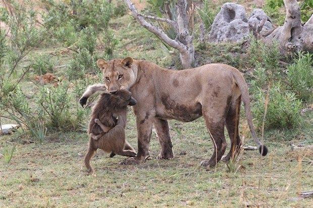 Aslanların en başarısız saldırıları 119