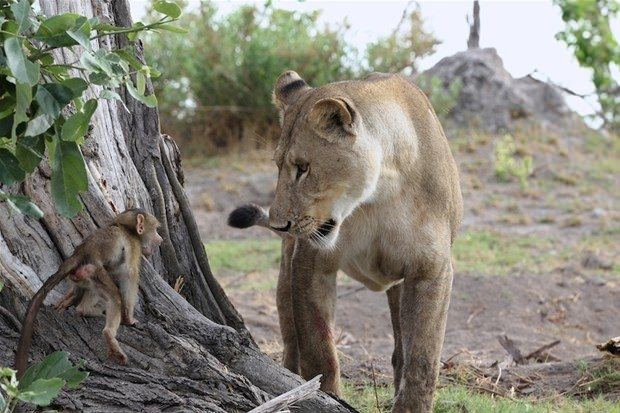 Aslanların en başarısız saldırıları 121