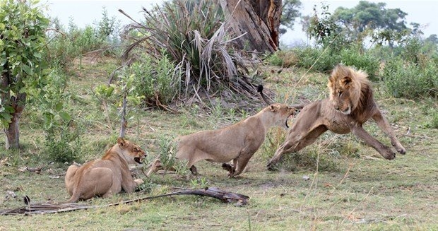 Aslanların en başarısız saldırıları 126
