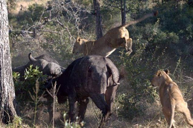 Aslanların en başarısız saldırıları 13