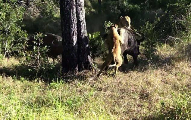 Aslanların en başarısız saldırıları 14
