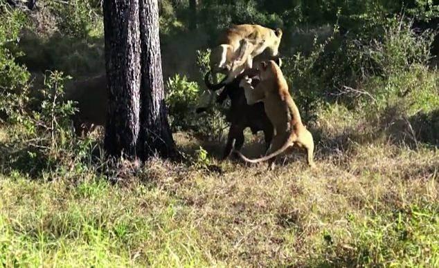 Aslanların en başarısız saldırıları 15