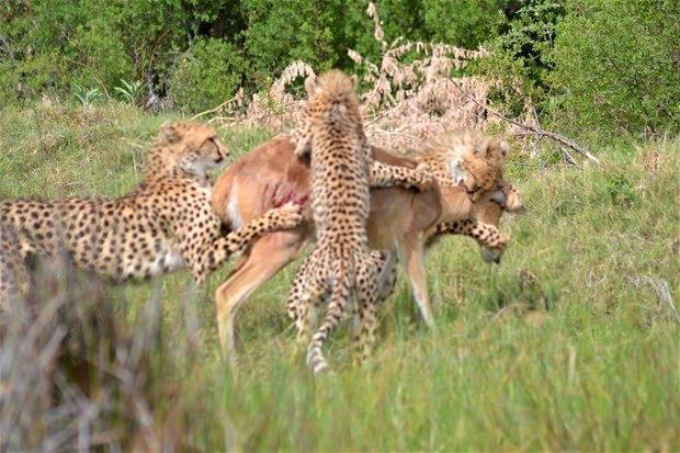 Aslanların en başarısız saldırıları 151