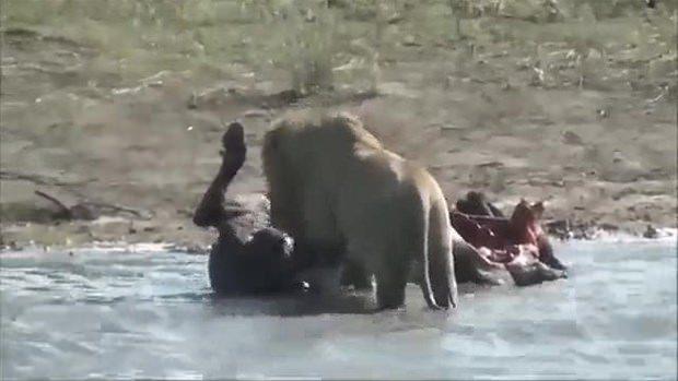 Aslanların en başarısız saldırıları 158