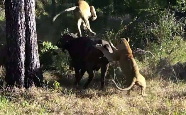 Aslanların en başarısız saldırıları 16