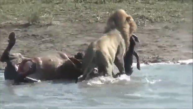 Aslanların en başarısız saldırıları 161