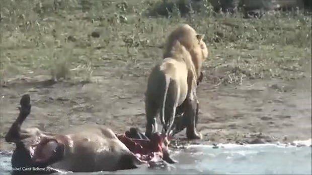 Aslanların en başarısız saldırıları 163
