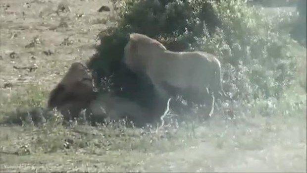 Aslanların en başarısız saldırıları 169