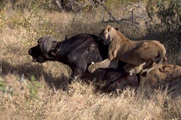 Aslanların en başarısız saldırıları 17