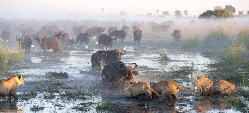 Aslanların en başarısız saldırıları 19