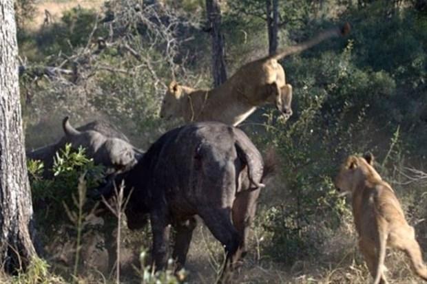 Aslanların en başarısız saldırıları 191