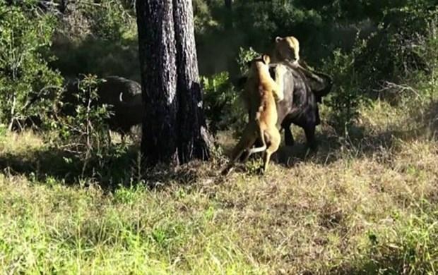 Aslanların en başarısız saldırıları 192