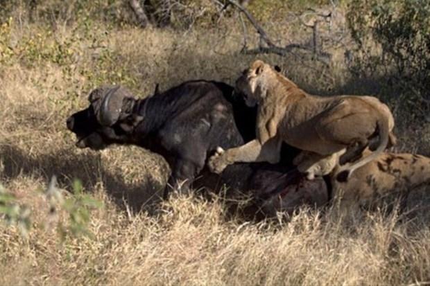 Aslanların en başarısız saldırıları 195